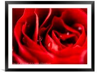Close up of red rose with water droplets, Framed Mounted Print