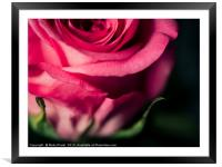 Close up of pink rose - desaturated colour , Framed Mounted Print