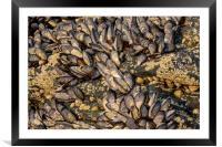 Mussels, Framed Mounted Print