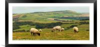 Grazing Sheep, Framed Mounted Print