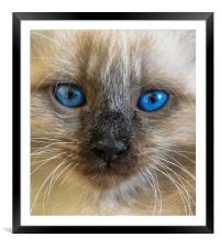 The portrait of Siberian cat with blue eyes, Framed Mounted Print