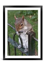 Squirrel Spectator, Framed Mounted Print