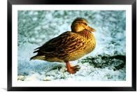 DUCK ON SNOW, Framed Mounted Print
