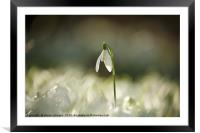 Cotswold snowdrop , Framed Mounted Print