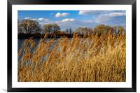 A dry grass on river., Framed Mounted Print