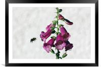 Bee and Foxglove , Framed Mounted Print