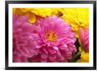 Vibrant Mums , Framed Mounted Print