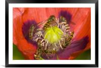 Busy Pollination, Framed Mounted Print
