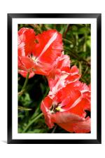 Parrot Tulips, Framed Mounted Print