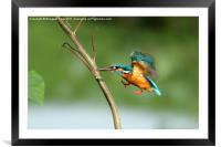 Common Kingfisher in flight., Framed Mounted Print