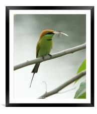 Green Bee-eater with prey, Framed Mounted Print