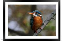 Common Kingfisher f, Framed Mounted Print