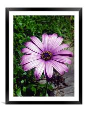 A flower, Framed Mounted Print