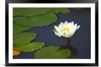 Waterlily , Framed Mounted Print