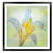 Lily Flower , Framed Mounted Print
