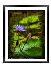 Beautiful Water Lilies, Framed Mounted Print