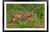 Impala Herd In Limpopo, Framed Mounted Print
