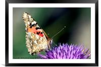butterfly on a Silybum marianum, Framed Mounted Print