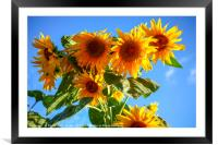 A field of sunflowers , Framed Mounted Print