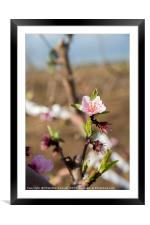 almond blossoms, Framed Mounted Print