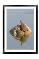 Striped-neck terrapin (Mauremys caspica), Framed Mounted Print