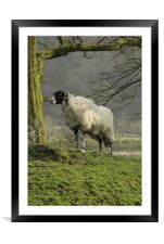 Lost sheep, Framed Mounted Print