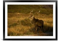Monarch of the Glen, Framed Mounted Print
