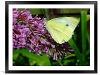 Cabbage Butterfly, Framed Mounted Print