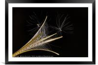 Seed Heads, Framed Mounted Print