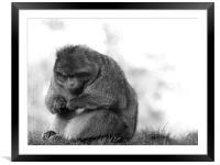 monkey, Framed Mounted Print