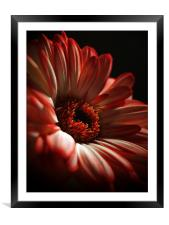 Two Toned Gerbera., Framed Mounted Print