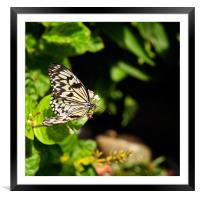 Tree Nymph butterfly, Framed Mounted Print