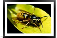 common wasp, Framed Mounted Print