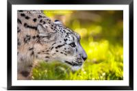 Snow leopard, panthera uncia, Framed Mounted Print