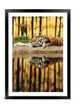 Tiger, Tiger, Framed Mounted Print