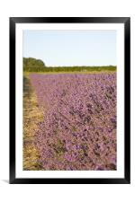 Lavender fields, Framed Mounted Print