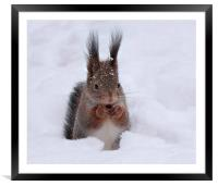 Squirell in snow, Framed Mounted Print