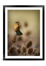 STONECHAT, Framed Mounted Print