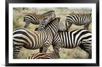 Zebras, Framed Mounted Print