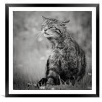Scottish Wildcat, Framed Mounted Print