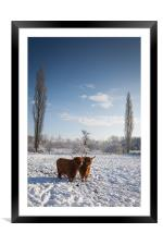 Highland Cows in snow, Framed Mounted Print