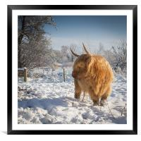 Hairy Cow in snow, Framed Mounted Print