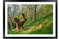 The Ancient Oak , Framed Mounted Print