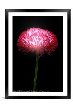 Clover Red, Framed Mounted Print