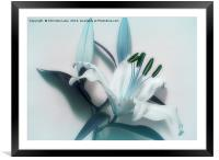Lily Blues, Framed Mounted Print