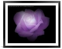 Midnight Rose, Framed Mounted Print