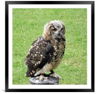 Young Eagle Owl, Framed Mounted Print