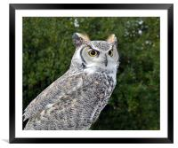 Canadian Great Horned, Framed Mounted Print