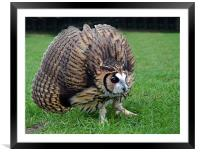 Peruvian Striped  Owl - Defending, Framed Mounted Print