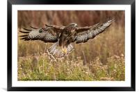 Buzzard over meadow, Framed Mounted Print